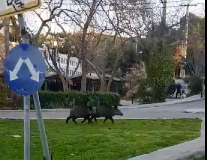 """Δύο αγριογούρουνα εμφανίστηκαν το πρωί στην πλατεία Πολιτείας. Τα αγριογούρουνα φωτογράφησε και """"ανέβασε"""" στον λογαριασμό του στο facebook ο Νίκος Χιωτάκης σχολιάζονταςεμείς#μενουμεστοσπιτικαι τα """"γουρουνάκια"""" βγήκαν για βόλτα στη πλατεία Πολιτείας από τις 7.30. Κάποιος να τους μιλήσει για#κορονοιος#κηφισιά."""